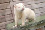 IC_barney_the_albino_ferret_02.jpg