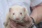 IC_barney_the_albino_ferret_04.jpg