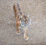 TE171208TIGE-10.jpg