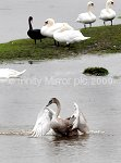 MR031108SWAN2.jpg