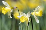 LB040308daff-2.jpg