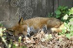 AS_01_Sleeping_Fox.jpg