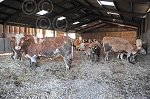 MACGREGORsimmsYoungBull&cows1.jpg