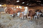 MACGREGORsimmsYoungBull&cows3.jpg