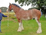 STEWARTRYshowClydesdale(Campbell).jpg