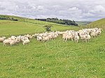 WHITCHESTERSnccPureEwes&Lambs3.jpg