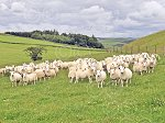 WHITCHESTERSnccPureEwes&Lambs4.jpg