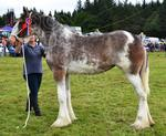Mid Argyll rese ch of ch Clyde 2013.JPG