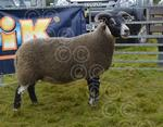 Lorn Blackie and overall sheep.jpg
