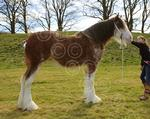 BEITHclydesdale.JPG