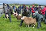 Gargunnock sheep judging.jpg