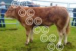 Lorn commercial calf.jpg