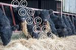 BLACKCRAIG-Gallo-Finlay-Bullocks006.JPG