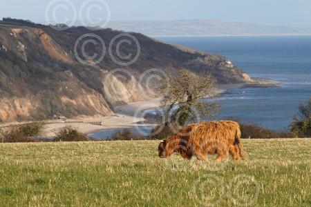 shb 8781-09-15AW Highland cattle at Beer.jpg