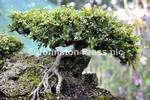 133323m Bonsai M ns.JPG