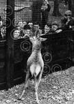 Bambi the Red Deer Stag at Calder Park Zoo 1955.jpg