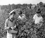 24 Hard at work berry picking in summer 1963.jpg