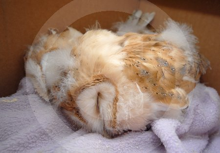 IC_Baby_Barn_Owls_17.jpg