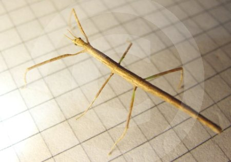 IC_800px-Unknown.stick.insect.from.above.jpg