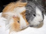 IC_rehome_&_away_g_pigs_01.jpg