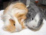 IC_rehome_&_away_g_pigs_03.jpg