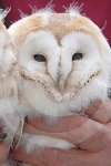 IC_Baby_Barn_Owls_12.jpg