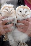 IC_Baby_Barn_Owls_13.jpg