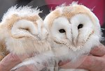 IC_Baby_Barn_Owls_11.jpg