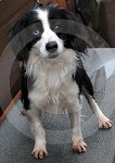 IC_rehome_blue_collie_02.jpg