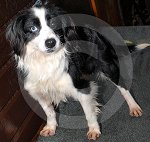 IC_rehome_blue_collie_05.jpg