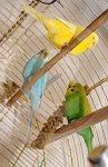 IC_Budgies_RHA_01.jpg