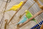 IC_Budgies_RHA_02.jpg