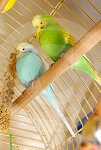 IC_Budgies_RHA_03.jpg