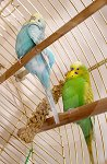 IC_Budgies_RHA_04.jpg