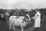 Elgin Cattle show713.jpg