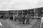 Elgin Cattle show714.jpg
