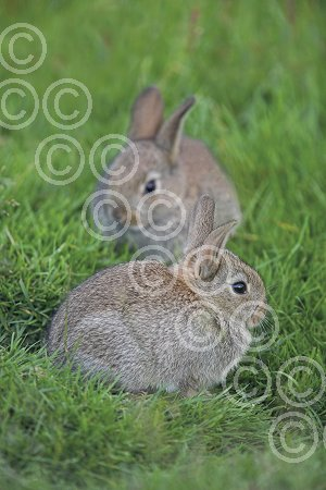 BMR25(D) Young rabbits.jpg