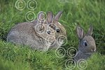 BMR24(D) Young rabbits at burrow.jpg