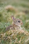 BMR30(D) Young rabbit.jpg
