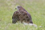 Buzzard eating rabbit.jpg