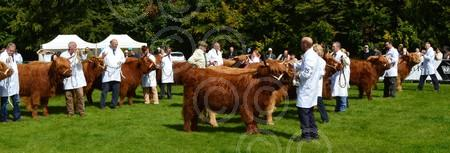 Pollok big heifer line-up.jpg