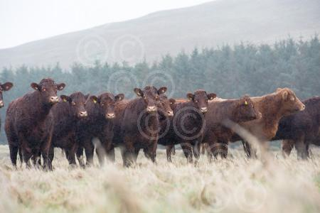 ATTONBURNluing-HighHeifers.JPG