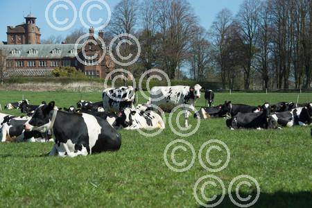 SCOTGRASS-Cows001.JPG