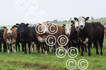 Drumdow-CrossCattle-Parker--heifers.JPG