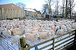 SHEEP SCANNING 170110.jpg