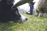 Beith nosey Collie2.jpg