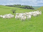 WHITCHESTERSnccPureEwes&Lambs.jpg