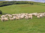 WHITCHESTERSnccPureEwes&Lambs2.jpg