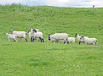 WHITCHESTERSsuffolkCrossEwes&lambs.jpg