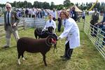GD030813004 Zwartbles at Duns.JPG